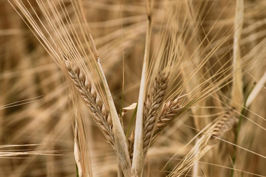 Is Barley Good For Weight Loss